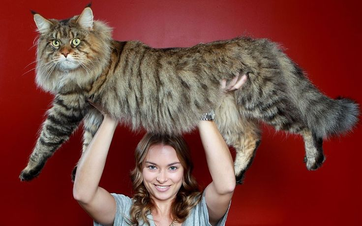 Rupert the Maine Coon = world's biggest cat!? Love Maine Coons