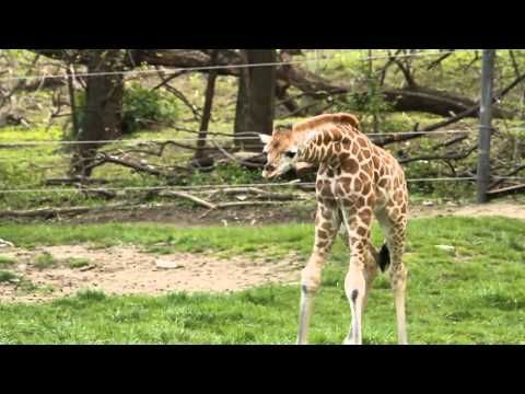 Baby Giraffe On Display At Bronx Zoo
