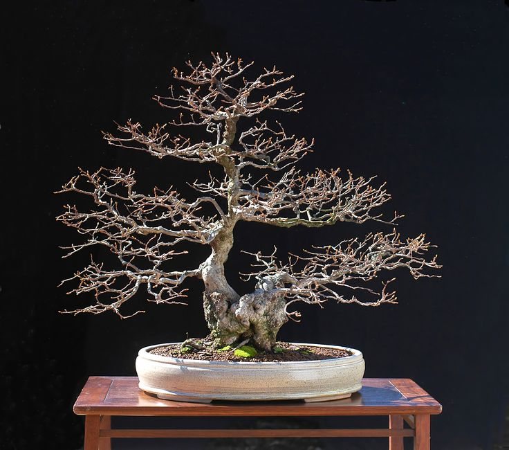 This is a list of common Bonsai tree species available on other listings: Hornbeam, Carpinus,Beech, Fagus, Elm, Ulmus, Oak, Quercus, Ive, Hedera, Maple, Acer, Spruce, Picea, Larch, Larix, Pine, Pinus, Horse Chestnut, Aesculus, Ash, Fraxinus, Willow, Salix, Birch, Betula, Silver fir, Abies, Rowan, Sorbus,