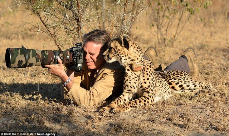 Chris Du Plessis and Mtombi the Cheetah~ Mtombi lives at Tshukudu Game Lodge, Hoedspruit, South Africa but she still runs wild and hunts for herself...