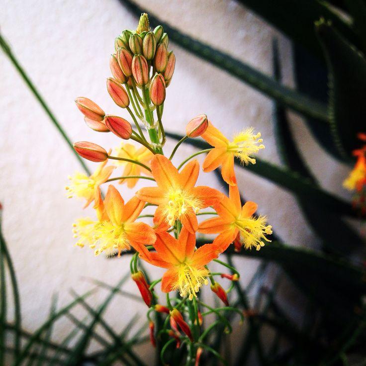 Bulbine fruitescense