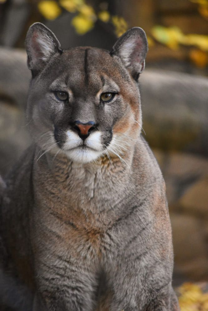 quite an interesting animal the puma i thought it was a large cat