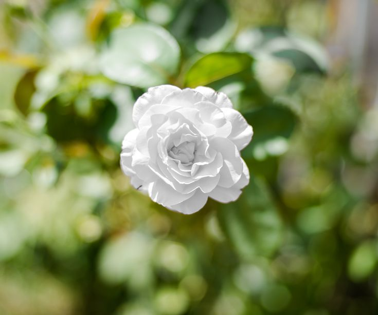 photography, picture, art, white, rose , green