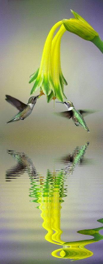 Flying Reflection of Hummingbird