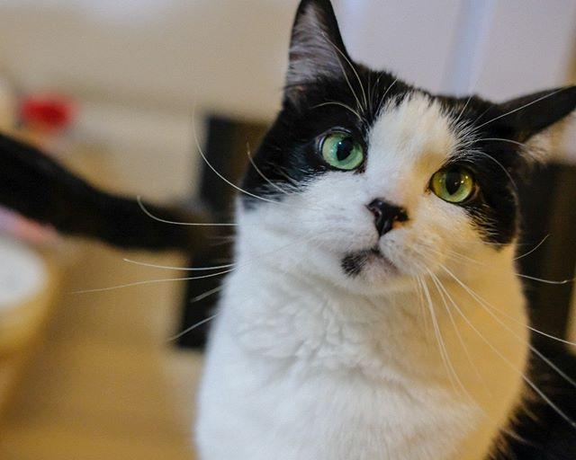 Why yes I am a cute cat #cute #confident #cat #gordy