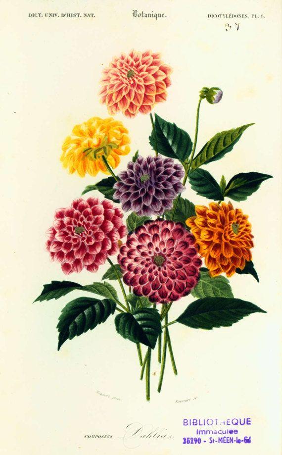 1861 Dahlias Orbigny Planche Originale Couleurs peintes à la main Botanique Bouquet Fleurs Histoire Naturelle