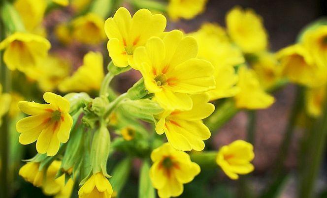 Această plantă are efecte liniștitoare asupra inimii și a nervilor, și înlătură tulburările care