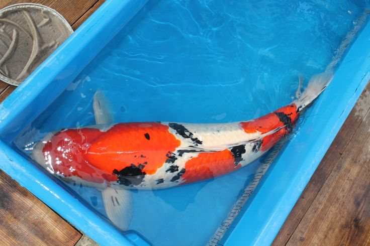 1000 Ideas About Koi For Sale On Pinterest Koi Ponds