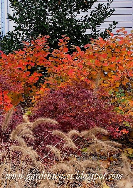 Fantastic fall perennial garden. Orange/gold - Fothergilla gardenii; Wine - Japanese Maple; Cream grasses -  Little Zebra Miscanthus.