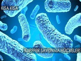 Kupffer savunma hücreleri Video