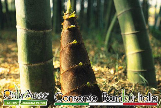 Germogli di Bambù Gigante Onlymoso - Anche se a prima vista non sembra sono buonissimi da mangiare! :)