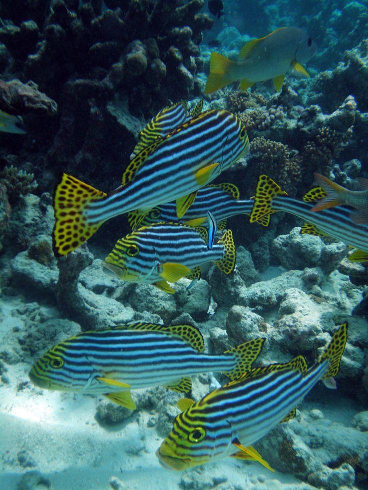 Oriental Sweet-lips (Plectorhinchus vittatus) at Meeru Island, North Male Atoll