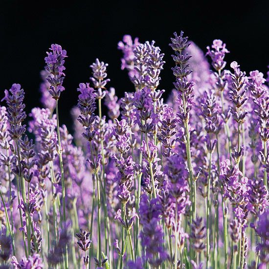 'Munstead' lavender  Lavandula angustifolia 'Munstead' offers lovely lavender-blue flowers that bring a luscious flavor to butter, cookies, or tea. Shorter plants (18 inches tall) and flower stalks make Munstead a perfect choice for a lavender hedge or knot garden. Zones 5-10