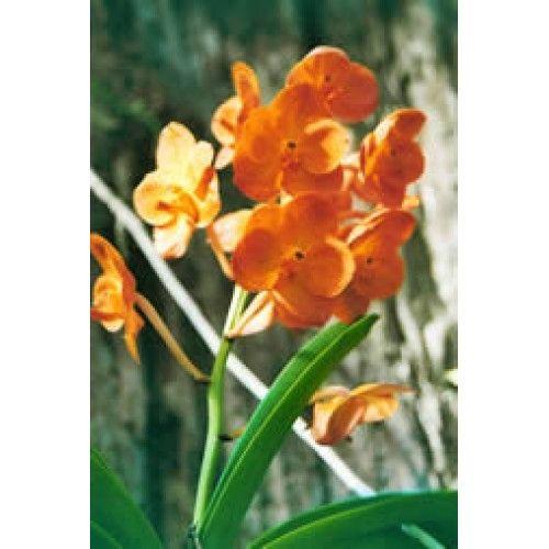 Orkidé orange
