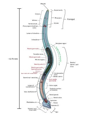 Nematode - Wikipedia, the free encyclopedia