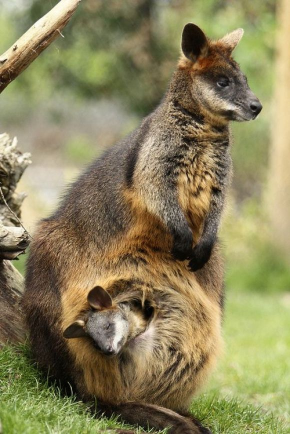Moeras wallabies by K. The swamp wallaby (Wallabia bicolor) is a small macropod marsupial of eastern Australia. This wallaby is also commonly known as the ...