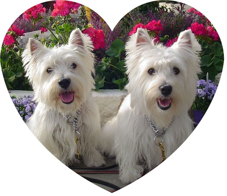 11 best images about westies on pinterest white terrier. Black Bedroom Furniture Sets. Home Design Ideas