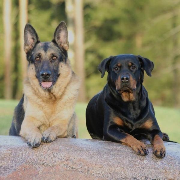 Las 10 razas de perros alemanes más populares. ¿Alguna vez te has preguntado cuáles son las 10 razas de perros alemanes más populares? Pues en este artículo de ExpertoAnimal se van a disipar todas tus dudas porque te vamos a mostrar...