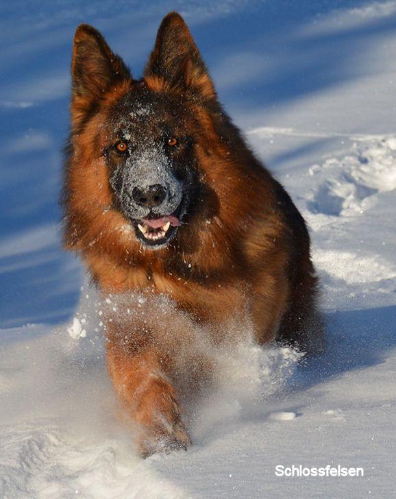 Long Coat German Shepherd, Cairo - schlossfelsen kennels | Mahogany Red/Black longcoat