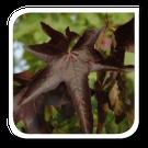 Amberboom  De Liquidambar styraciflua ook wel de amberboom genoemd is een boom met wellicht de mooiste   herfskleur. De Amberboom begint in de   top, in de vroege herfst te verkleuren naar paars/orange. De Liquidambar verliest als één van de   laatste bomen zijn blad. De kleur van deze bladeren is dan vuurrood/ donkerpaars.  De Amberboom is ziektevrij, er komen dus geen rupsen/luizen in.  De Liquidambar styraciflua groeit op vrijwel elke grond.