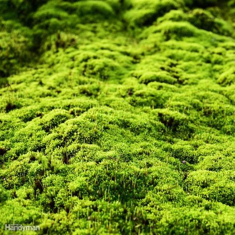 Moss as a ground cover is the perfect solution for shady lawns as well as lawns with poor soil. The two key ingredients for growing moss are moisture, a two-minute watering daily, and daylight, but not direct sun. For yards that are heavily shaded, moss is both practical–needs no mowing–and provides aesthetic value. Moss does not produce flowers, seeds or establish true roots. It is a cover-like mat of stems and leaves, which absorbs nutrients and water. Moss grows very well with other…