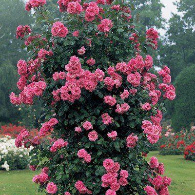 Climbing Zephirine Thornless Rose