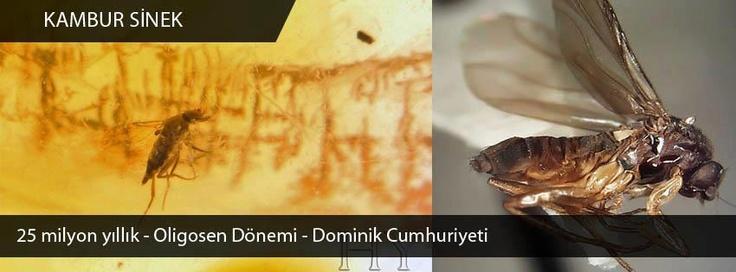 Kambur Sinek, 25 milyon yıllık, Oligosen Dönemi, Dominik Cumhuriyeti