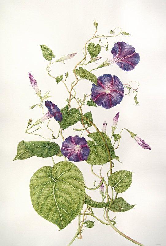 Ipomoea purpurea Botanical illustrations by Milly Acharya
