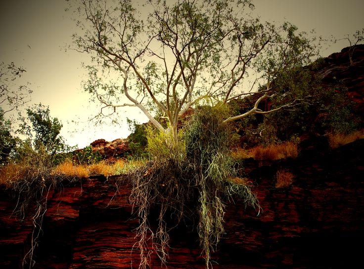 Karijini - Trees at Circular Pool growing at the top of the gorge