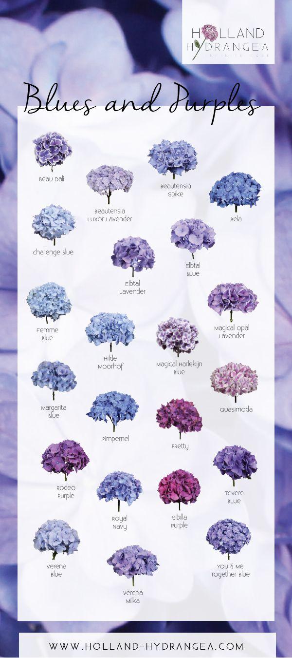 Beautiful Blues and Purples |  Holland Hydrangea: share the beauty of Dutch Hydrangea! | www.holland-hydrangea.com
