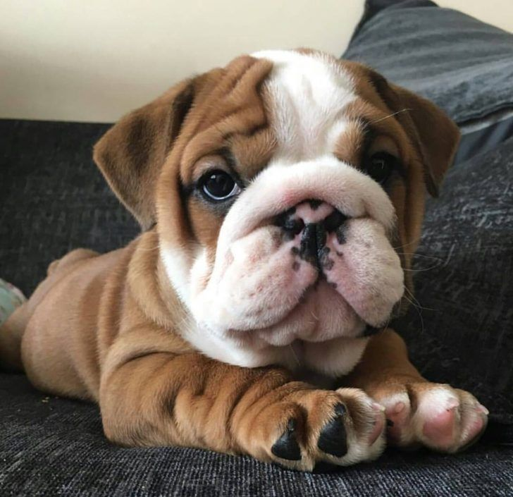The Domestic Dog Baby Bulldogs Pin By Samantha Erica On Dogs