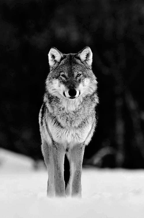 wolf.                                                                                                                                                                                 Más