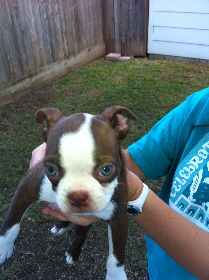 Penny, the brown Boston Terrier with green eyes