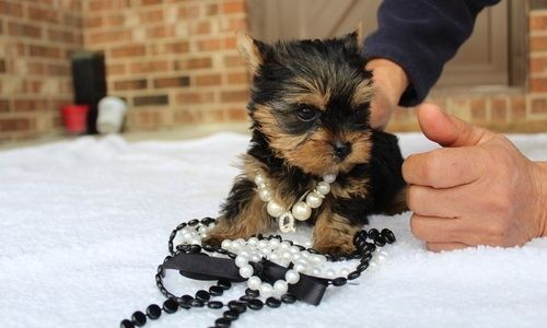 Teacup Yor Kie Puppies Husky Puppy Yorkie Puppy Dogs Puppies