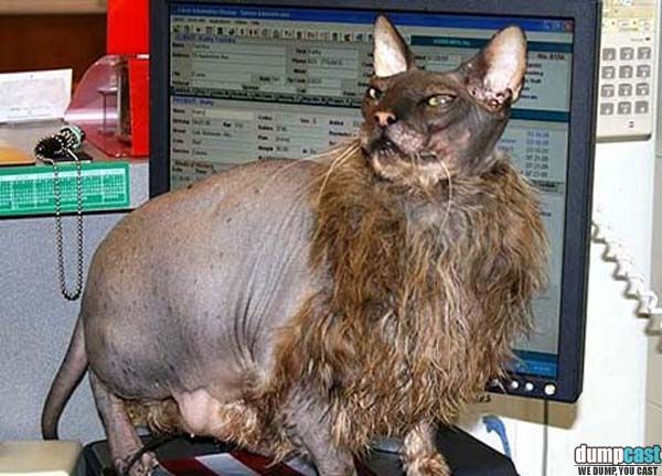9 Best Images About Ugly Cats On Pinterest