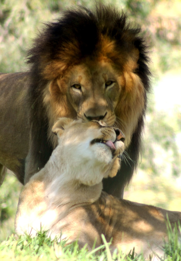 cat and lion relationship