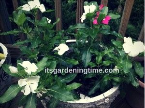 We have a large container full of white Vinca! The best news is that the Vinca are free! How do you get free Vinca? Last year, we purchased 4 Vinca plants for $10 bucks at #HomeDepot. Even though we live in Zone 7, which gets very cold in the Winter, the Vinca returned this year! We have 7 #gardeningtips we use to encourage #tropical #plants to return every year. To learn how visit ...#garden #gardening #gardeninspiration #gardenlife #gardens #flowers #flower #flowerpower #flowerphotography