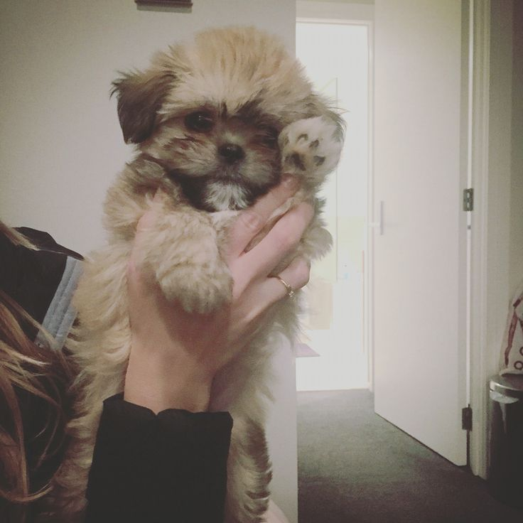 Hi! This is Chewie and he is a teddybear puppy a cross of chihuahua and shih tzu.