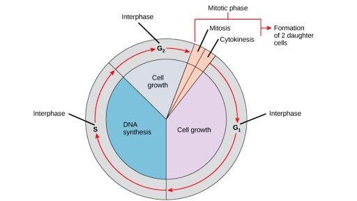 Para dividirse, una célula debe completar varias tareas importantes: debe crecer, copiar su material genético (ADN) y dividirse físicamente en dos células hijas. Las células realizan estas tareas en una serie de pasos organizada y predecible que conforma el ciclo celular. En las células eucariontes, o células con un núcleo, las etapas del ciclo celular se dividen en dos fases importantes: la interfase y la fase mitótica (M). Durante la interfase, la célula crece y hace una copia de su ADN.