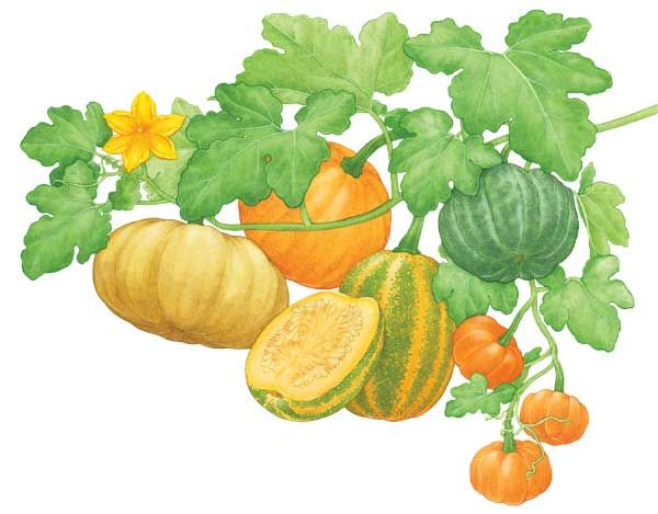 Growing your own pumpkins is as easy as pie! Learn when to plant pumpkins and how to harvest, cure and cook incredibly diverse pumpkin varieties. From fairy tales to the Thanksgiving table, the pumpkin has played an important role in our cultural and gastronomical past. From MOTHER EARTH NEWS magazine.