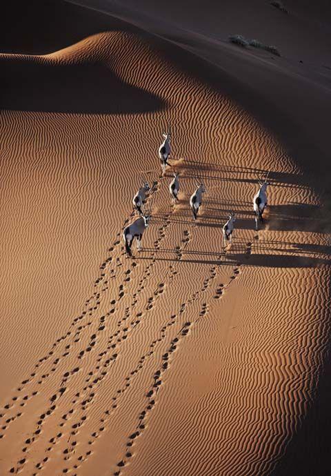 Gemsbok aerial photo running on the desert