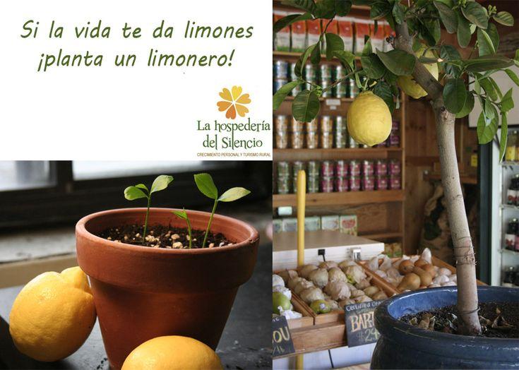 más de 25 ideas increíbles sobre plantas de limonero en pinterest
