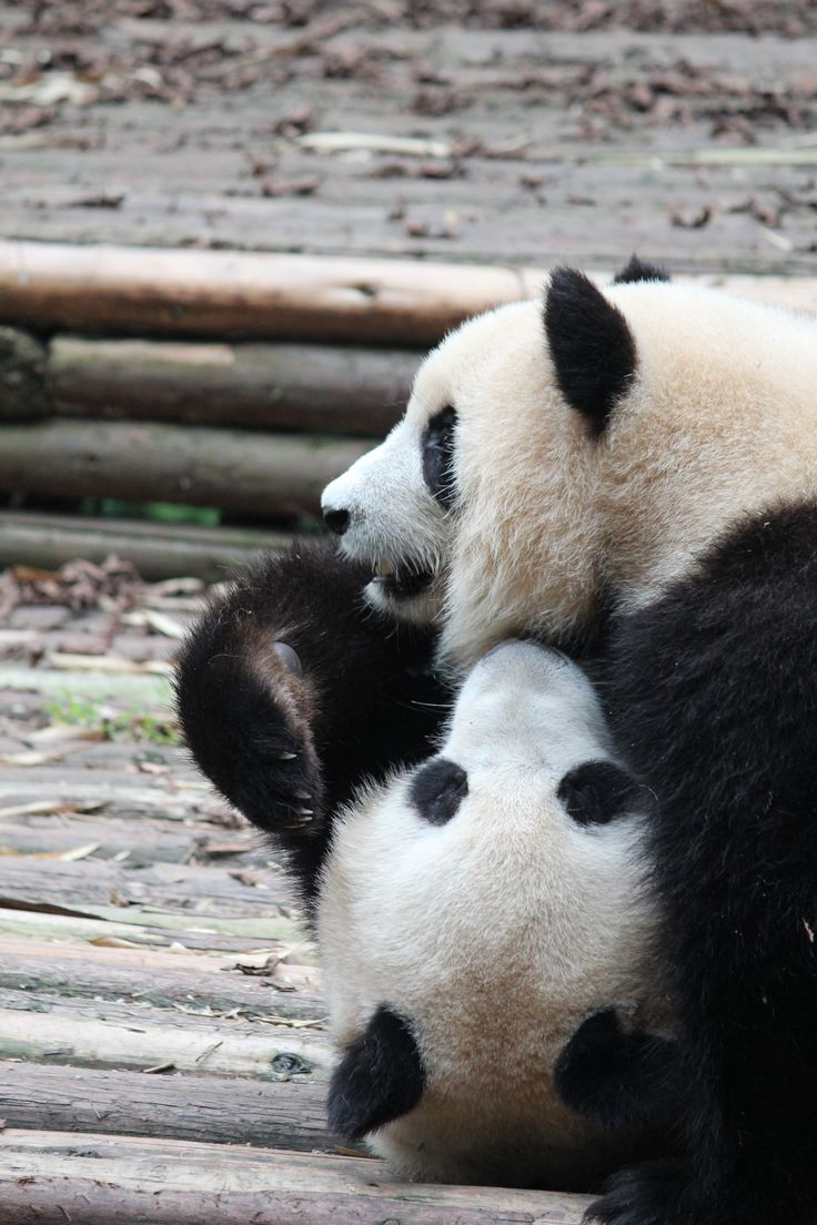 Pandas have a very poorly nutritious diet - bamboo leaves are tough for them to digest, but they don't eat anything else. This is why pandas seem so lethargic for much of the time. These two were an exception and enjoyed a gentle wrestling match for quite some time.