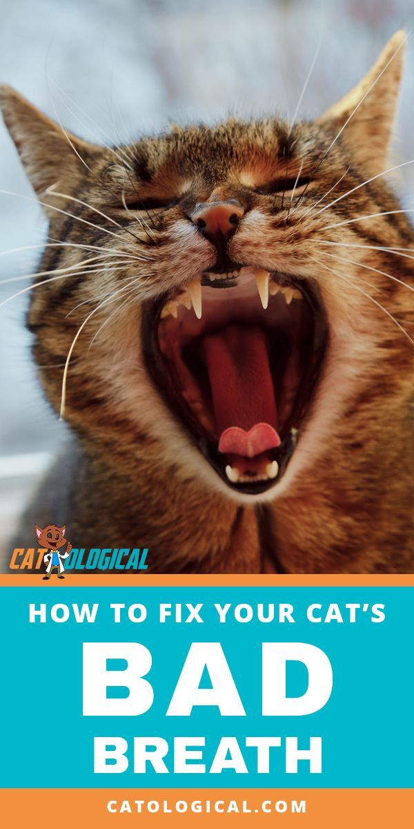 tips and tricks on how to fix your cat s nasty breath put an end to that stinky halitosis emanating from your kitty s mouth with these home remedi