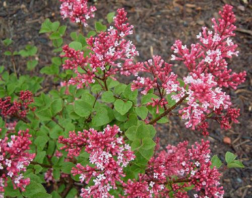 Dwarf Korean Lilac Bush Tinkerbelle Because I Have To Be