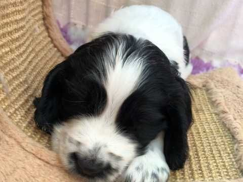 Home Reared Show Type Cocker Spaniel Puppies Ely Cambridgeshire Pets4homes Spaniel Puppies Cocker Spaniel Puppies Dog Breeds Medium