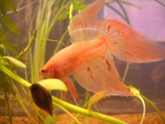 17 best images about beautiful bettas fantastic fish on for Types of betta fish petco