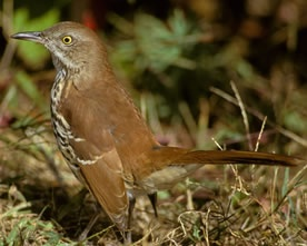 Brown Thrasher...feisty little birds