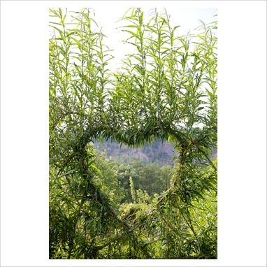 heart shaped willow espalier.