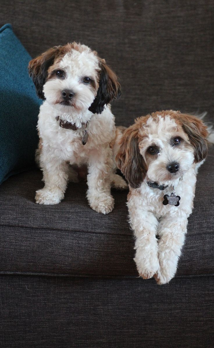 Bichon Shih Tzu Shichon Zuchon Puppies For Sale Quality Bred